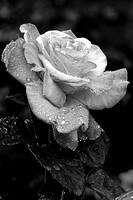 Rose blossom with raindrops