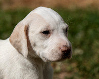 Belle Meade Foxhound Puppies_4-17-2017_238334