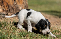 Belle Meade Foxhound Puppies_4-17-2017_238423