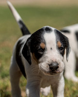 Belle Meade Foxhound Puppies_4-17-2017_238469