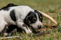 Belle Meade Foxhound Puppies_4-17-2017_238464