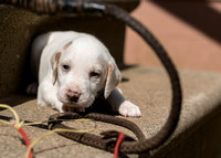 Belle Meade Foxhound Puppies_4-17-2017_238251
