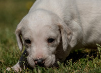 Belle Meade Foxhound Puppies_4-17-2017_238476