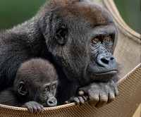 Lulu and Andi  - Zoo Atlanta - western lowland gorilla mother and infant